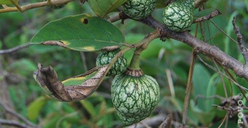 Indigenous Fruit Trees In Zimbabwe Pdf