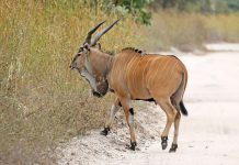 Mhofu or Eland in English